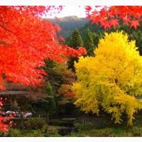 Гинкго Билоба Ginkgo Biloba - Дерево долголетия. Саженцы от 1 до 6 лет