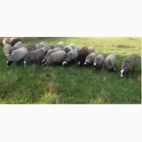Продам стадо баранів та овець суффолків та романівської породи