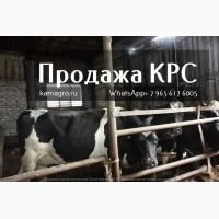 Племенные нетели Молочных пород