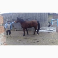 Продам коня ваговоза