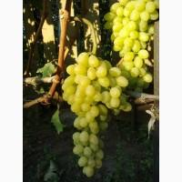 Саджанці винограду районованих сортів