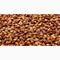 Семена гречихи сорт АРНО КАНАДА 1 репрод