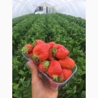 Продам ягоду тепличной клубники