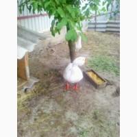 Продам гусиные яйца