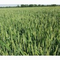 Озимая пшеница Леннокс