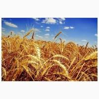 Куплю дорого пшеницу 2, 3 класса, ячмень