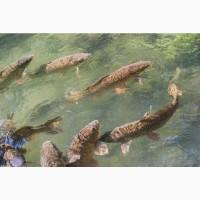 Продаж товарної риби