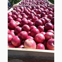 Яблоки опт от производителя
