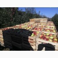 Продам яблоки первого и второго сорта