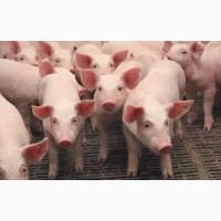 Свиньи, свинина. Живым весом. С доставкой