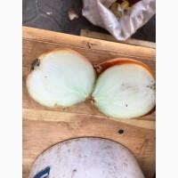 Продам товарный лук сорт глобус 5+ 150т