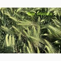 Семена озимого ячменя Марисса 1-реп. (Австрия)