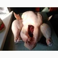 Продам мясо домашнього індика