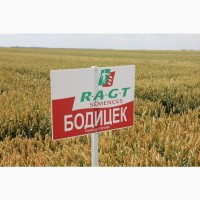 Посівний матеріал озимої пшениці БОДИЦЕК (1репродукція)