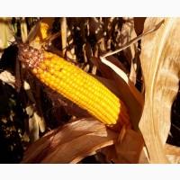 Семена кукурузы СИ Кариока
