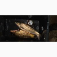 Зарибок та товарна риба