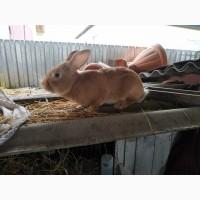 Мясо кролика продам