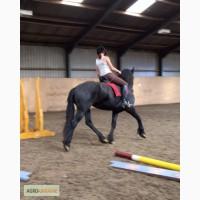 Фризької коні на продаж