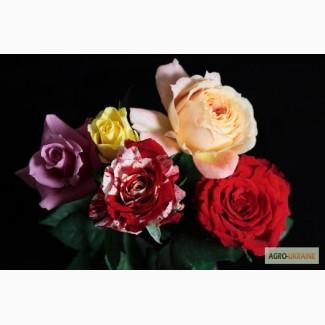 Продам саджанці троянд