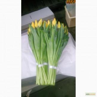 Тюльпаны оптом. Украина. Львов