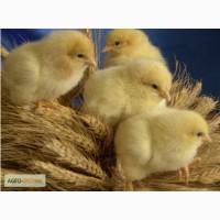 Продам суточных цыплят бройлеров Кооб 500