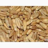 Тритикале пшеничный товарный, некондиционный