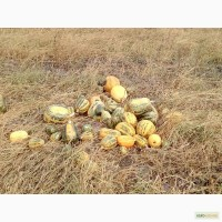 Продам оптом тыкву Украинская Многоплодная