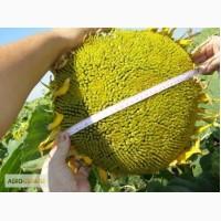 Насіння соняшнику - Даріл