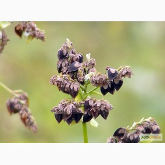 Семена Канадской гречихи Гранби(1р)