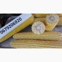 Кукуруза сахарная сладкая молодая в кочанах высшего качества