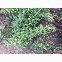Семена нута Зехавит