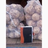 Селера корiнь продам 5за 1 кг