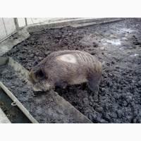 Дикая свинья поросная