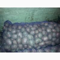 Продам посадочный картофель сотр Рокко