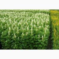 Люпин. Семена люпина могут использоваться как сидерат и для прготовления пищи