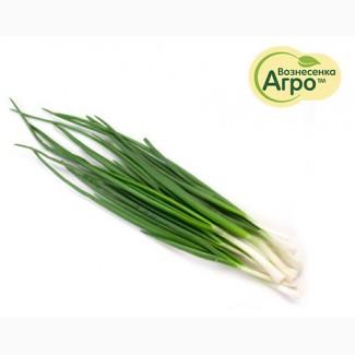 Продам лук зеленый оптом, лук перо оптом