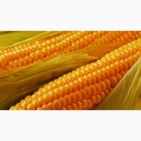 Кукуруза не гмо фоб порт одесса
