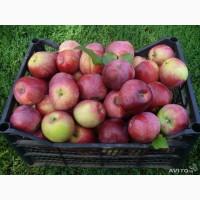 ОПТОМ Продам яблоки Слава Победителю