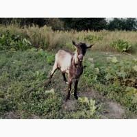 Продам козенят і козла