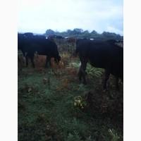 Продам нетелей: телок и бычков