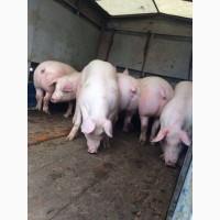 Свини 100-130 свині петрен, дюрок, ландрас. Продам свиней
