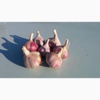 Продам товарный чеснок, сорт Харьковский фиолетовый, собственное выращивание