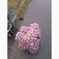 Куплю картоплю в Рівненській та Волинській області відмінної якості