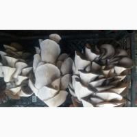 Продам гриби-ГЛИВИ