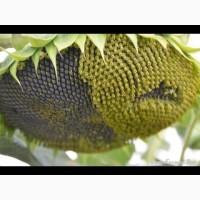 Семена подсолнуха Канадский кондитерский трансгенный гибрид подсолнечника SATTON насіння
