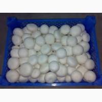 Продам грибы шампиньоны свежие. Оптом из собственного хозяйства