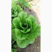 Продам салат : фризе, винтекс, ромен, сигал
