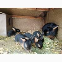 Продам черно огненных кролей