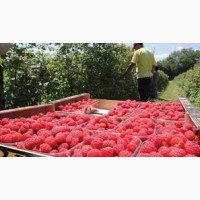 Маліна Малина ягода урожай 2019
