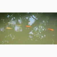 Продам рыбок для пруда